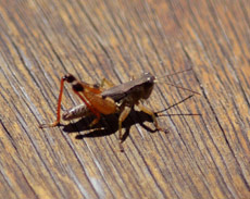 Photo of Cricket on timber boards