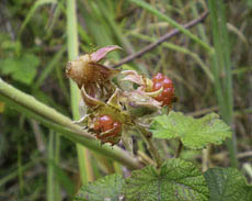 Photo of wild bush Raspberry